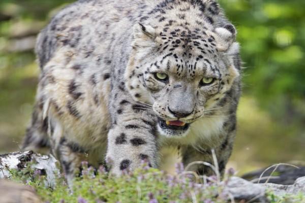Un leopardo de las nieves caminando con cansancio