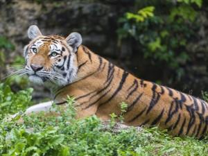 Un tigre sobre la hierba