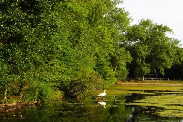 Un pato en un estanque (Inglaterra)