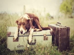 Postal: Perro tumbado sobre las maletas