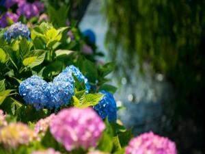 Postal: Preciosas hortensias rosas y azules