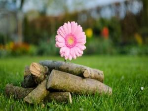 Gerbera rosa junto a unos troncos apilados