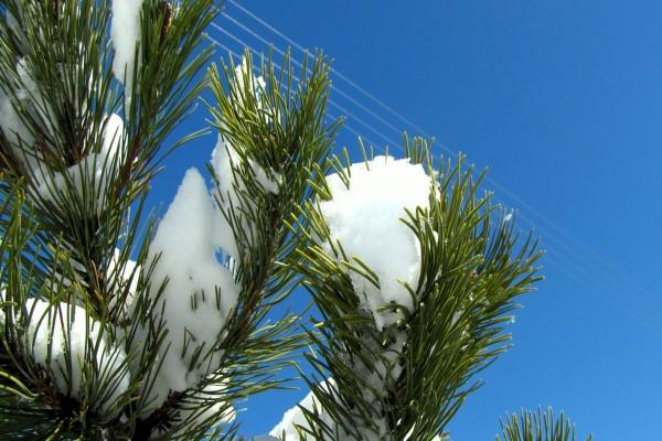 Blanca nieve sobre las ramas de un pino