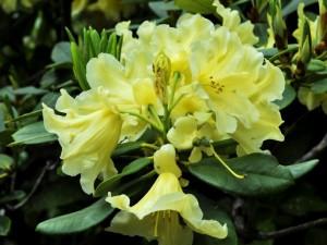 Una glamurosa azalea con flores amarillas