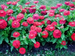 Un conjunto de zinnias adornan el jardín