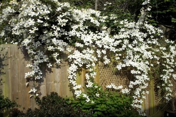 Una tapia cubierta con elegantes florecillas blancas