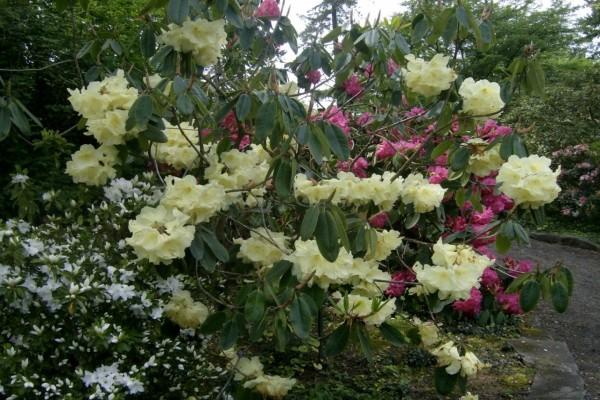 Un colorido jardín con azaleas