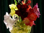 Vistosos y coloridos gladiolos
