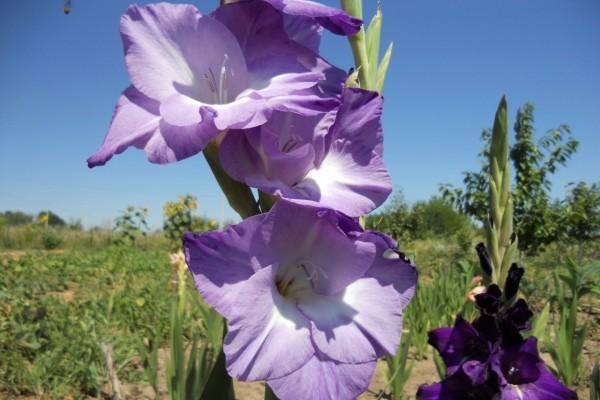 Esbeltos gladiolos en el campo