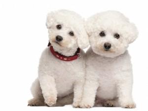 Postal: Dos adorables perritos blancos