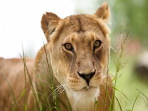 Postal: Una hermosa leona