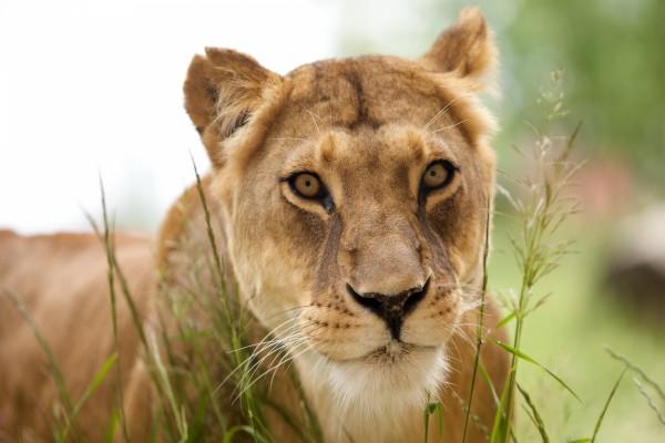 Una hermosa leona