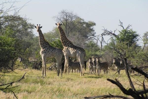 Dos jirafas junto a una manada de cebras