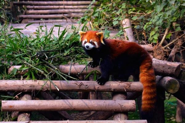 Un lindo panda rojo