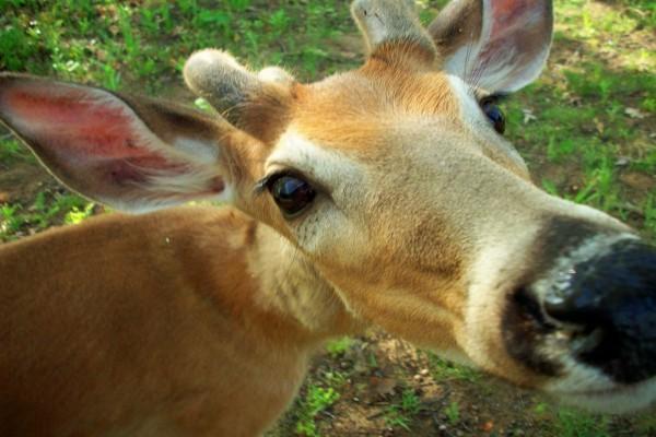La cara de un joven ciervo