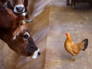 Postal: Vaca observando a una gallina