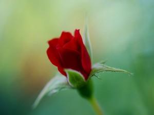 Pequeña rosa roja abriendo sus pétalos