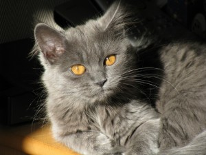Un precioso gato gris