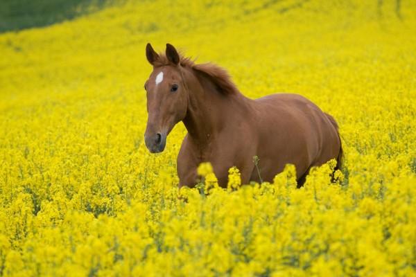 Un caballo marrón entre flores amarillas