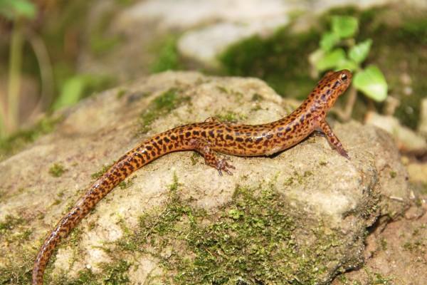 Salamandra de cola larga