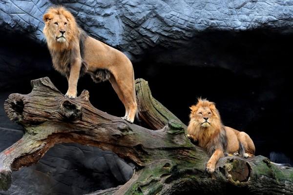 Dos leones sobre un viejo tronco de árbol