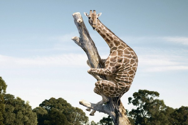 Jirafa en lo alto de un tronco