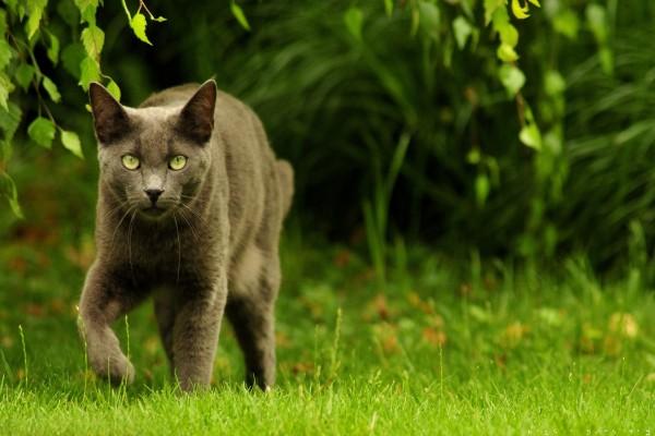 Un gato gris caminando sobre la hierba