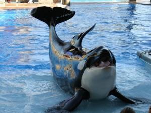Una orca mostrando su lengua