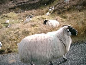 Ovejas irlandesas