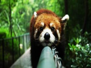 Postal: Panda rojo sobre una barandilla