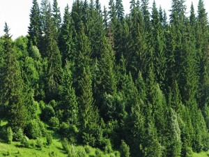 Hermosos pinos verdes