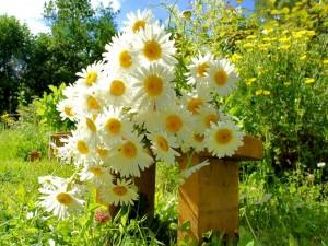 Postal: Conjunto de matricarias sobre un banco del jardín