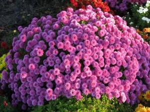 Varios crisantemos rosas adornan un jardín