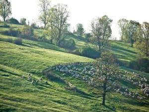 Postal: Rebaño de ovejas