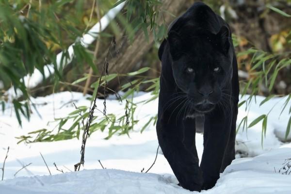 Pantera caminando sobre la nieve