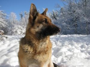 Postal: Un pastor alemán sobre la nieve