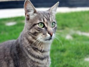 Gato gris de ojos verdes