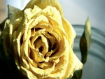 Rosa amarilla seca