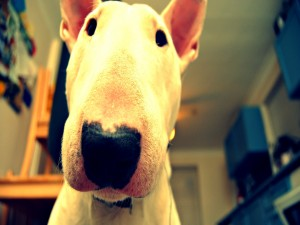 El hocico de un bull terrier