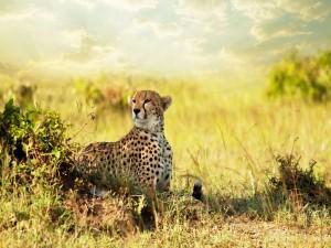 Un joven guepardo