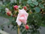 Una rosa en una rama con pimpollos