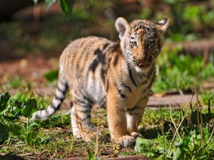 Postal: Un pequeño tigre sacando la lengua