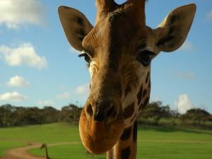 Postal: La cara de una jirafa