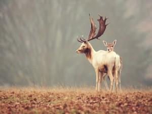 Dos bellos ciervos