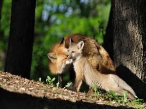 Un joven zorro junto a su madre