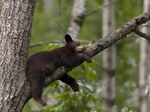 Postal: Osezno dormido sobre la rama de un árbol