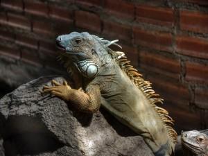 Postal: Iguanas sobre una roca