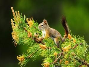 Ardilla sobre la rama de un pino