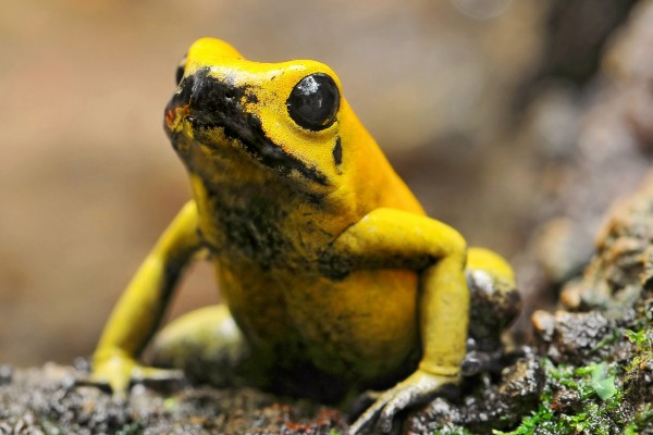 Una rana amarilla