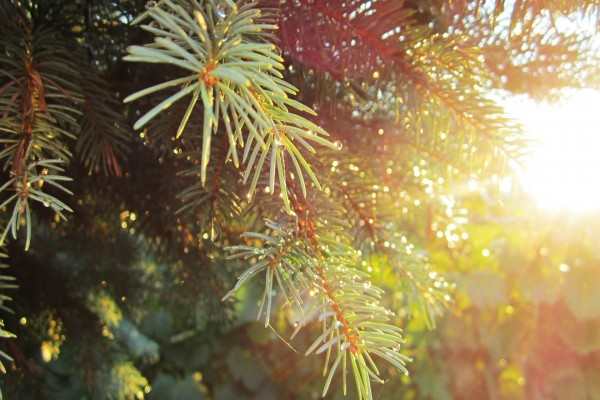 Gotas de agua en las ramas de un pino